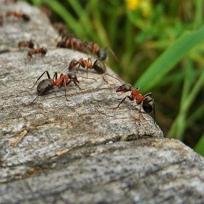 ameisenbek mpfung tipps gegen ameisen ace zydek. Black Bedroom Furniture Sets. Home Design Ideas
